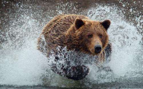 Bear-Running_tn2