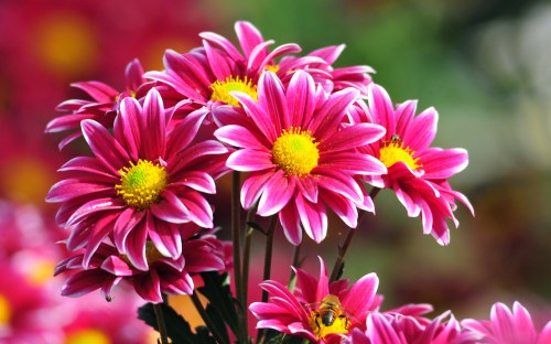 Beautiful-Flowers-Chrysanthemum-of-the-Nikitsky-Botanical-Gardens-Flowers-Ni342276