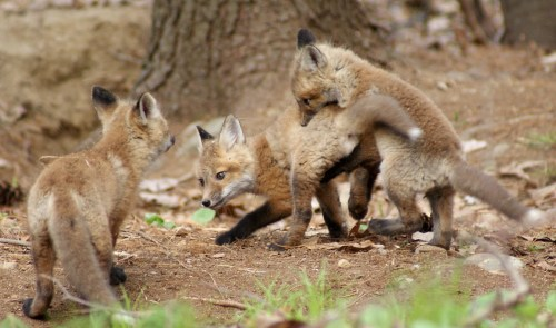 Baby Fox 026