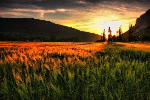 sun wheat