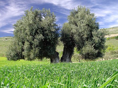 oliver trees