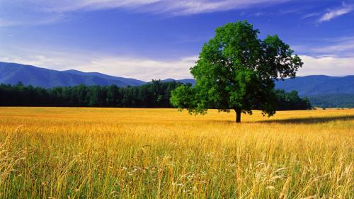 Single White Oak, Quercus bicolor,  tree in field, Cades Cove, Great Smoky Mountains National Park, Tennessee